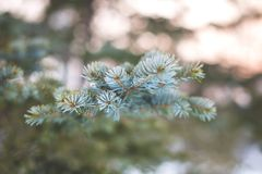 Macro image of Frozen fir trees branches in the snow.  royalty free stock photography
