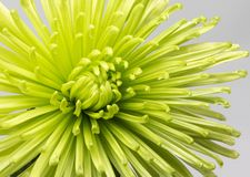 Green chrysanthemum with a gray background royalty free stock images