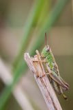 Macro image of a green grasshopper on top of a grass stalk Stock Photos