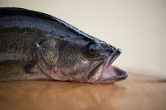 Profile of a largemouth bass Royalty Free Stock Photography