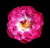 Macro image of isolated flower of Purple Rain Rose