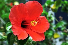 Closeup image of isolated red Hawaiian hibiscus flower