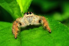 A macro image of Jumping spider Salticidae, Hyllus diardi female with good sharpen and detailed, hair, eye, and face very clear royalty free stock photos