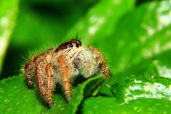 A macro image of Jumping spider Salticidae, Hyllus diardi female with good sharpen and detailed, hair, eye, and face very clear. It is standing on the green royalty free stock photography