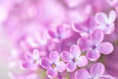 Macro image of  Lilac flowers. Abstract  floral background.  Very shallow depth of field, selective focus Royalty Free Stock Image