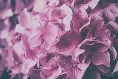 Macro image of pink hydrangea flower, natural floral background suitable for wallpaper. Macro image of lilac hydrangea flower with water drops, natural floral royalty free stock image