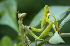 Macro image of male European Praying Mantis or Mantis Religiosa Stock Image