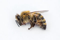 Free Macro Image Of A Dead Bee On A White Background From A Hive In D Stock Photo - 91543340