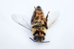 Free Macro Image Of A Dead Bee On A White Background From A Hive In D Royalty Free Stock Image - 95930446