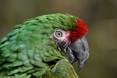 Free Macro Image Of A Green Parrot`s Face And Eye Royalty Free Stock Image - 115679816