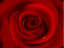 Macro Image Of Dark Red Rose With Water Droplet. Royalty Free Stock Photography