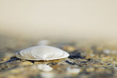 Macro image of one shell on sand. Stock Images
