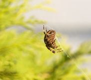 Macro image of an orb spider. Royalty Free Stock Photography