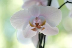 Macro image of orchid blossom. Bright background, white petals with pink stains Royalty Free Stock Photography