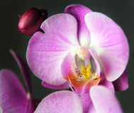 Macro image of orchid, captured with a small depth of field Royalty Free Stock Photo