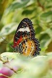 Macro image pf Cethosia cyane. The beautiful leopard lacewing butterfly stock photo