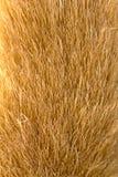 Golden fur Royalty Free Stock Photo
