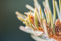 Macro image of pine branch Royalty Free Stock Image