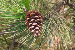 Macro image of pine cone hanging on tree. Whole background Stock Photos