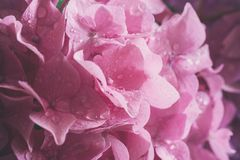 Macro image of pink hydrangea flower, natural floral background suitable for wallpaper. Macro image of pink hydrangea flower with water drops, natural floral royalty free stock photos