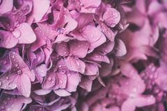 Macro image of pink hydrangea flower, natural floral background suitable for wallpaper. Macro image of pink hydrangea flower with water drops, natural floral royalty free stock photo