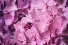 Macro image of pink hydrangea flower, natural floral background suitable for wallpaper. Macro image of pink hydrangea flower with water drops, natural floral stock image