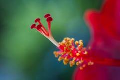 Free Macro Image Pollen Of Hibiscus Flower. Stock Image - 97601401