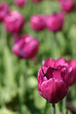 Macro image of a purple tulip in full bloom royalty free stock photography