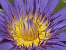 Macro Image of a Purple Water Lily Royalty Free Stock Images