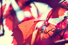 Macro image of red autumn leaves with small depth of field. Beautiful autumn background. Creative vintage filter royalty free stock photo