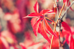 Macro image of red autumn leaves Royalty Free Stock Images