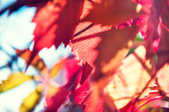 Macro image of red autumn leaves. Small depth of field. Beautiful autumn nature stock image