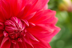 Macro image of a red dahlia flower in fresh blossom, red petals dahlia in garden Stock Photo