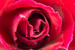 Macro image of red rose with water droplets Royalty Free Stock Photo