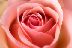 Macro image of rose Royalty Free Stock Photography