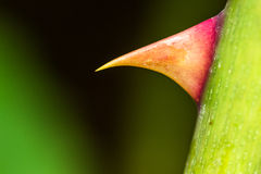 Macro image of a sharp rose thorn Royalty Free Stock Photo