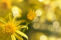 Macro image of small yellow daisies on a gentle bokeh background. Glowing with yellow circles royalty free stock image