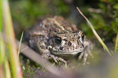Macro image of small young brown frog Stock Photo