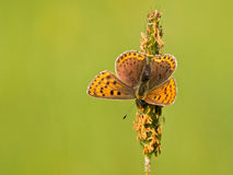 Macro image Sooty copper. Sooty Copper Butterfly (Lycaena tityrus) Basking in the Sun Stock Images
