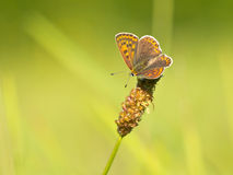 Macro image Sooty copper. Sooty Copper Butterfly (Lycaena tityrus) in a field of grass Stock Photography