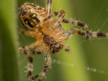 Macro image of Spider making a Web Stock Photos