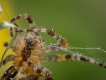 Macro image of Spider making a Web Royalty Free Stock Photo