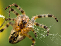 Macro image of Spider making a Web Royalty Free Stock Image