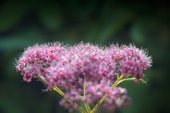 Macro Image of Spirea Goldflame Stock Photography