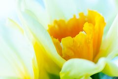Macro image of spring flower, jonquil, daffodil. Delicate calyx, petals royalty free stock photos