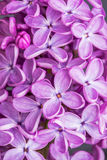 Macro image of spring lilac violet flowers, abstract soft floral background Stock Photography