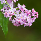 Macro image of spring lilac violet flowers, abstract soft floral background Royalty Free Stock Photos