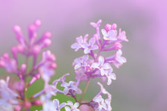 Macro image of spring lilac violet flowers, abstract soft floral background Royalty Free Stock Photography