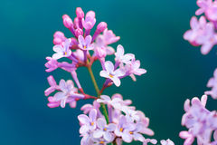 Macro image of spring lilac violet flowers, abstract soft floral background Royalty Free Stock Photo