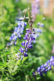 Macro image of a Texas Bluebonnet stock images